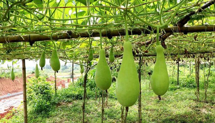 চুয়াডাঙ্গায় লাউ চাষে কৃষকের মুখে হাঁসি