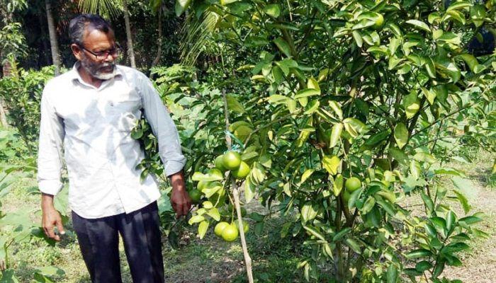 বাণিজ্যিক ভিত্তিতে মাল্টা চাষে সফল মোরেলগঞ্জের হেমায়েত