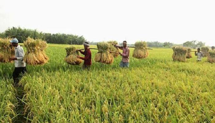 নালিতাবাড়ীতে আমনের বাম্পার ফলন, তবুও দুশ্চিন্তায় কৃষক