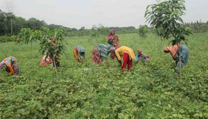 ঝিনাইদহে ইরি মুগ আবাদে আগ্রহ হারাচ্ছে কৃষক