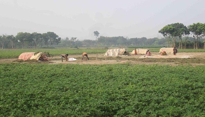 ঝিনাইদহে ক্ষেত থেকে বাদাম চুরি, রাত জেগে পাহারায় চাষী