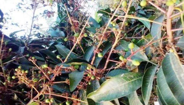 পুঠিয়ায় বাগান জুড়ে আমের কুঁড়ি, বাম্পার ফলনের আশা চাষিদের